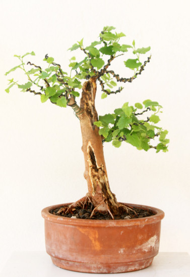 mulberry bonsai