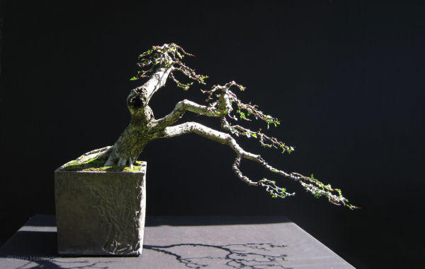 Bonsai summer images 2011 for How to make an olive tree into a bonsai