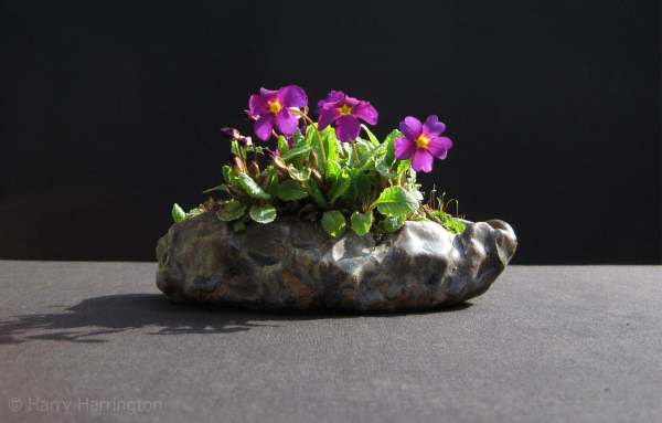 primrose bonsai accent