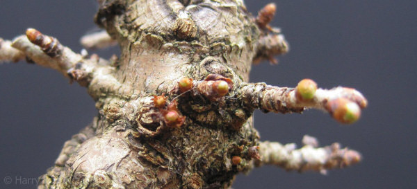 cherry bonsai buds