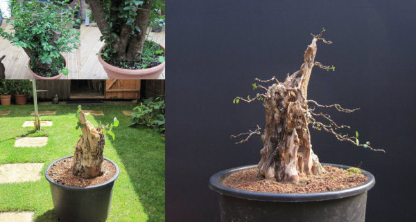 privet bonsai carving