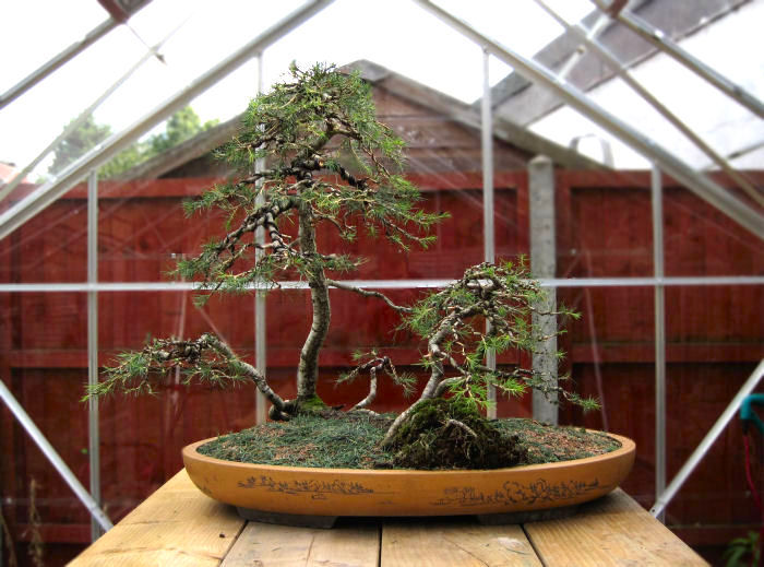 cedar bonsai raft