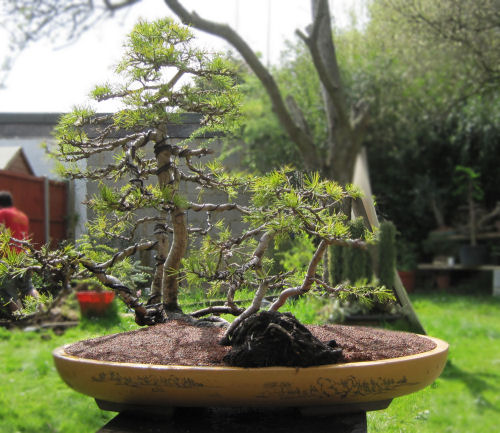 cedar raft bonsai