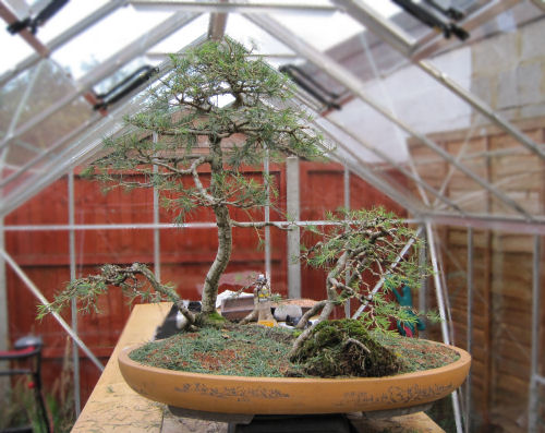 styling a cedar bonsai
