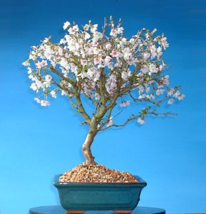 cherry bonsai in flower