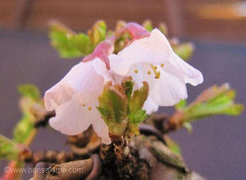 cherry bonsai flower close up