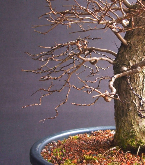 bonsai pruning