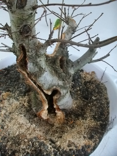 elm bonsai thick branch