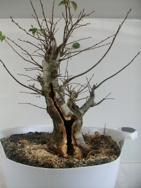 carved elm bonsai
