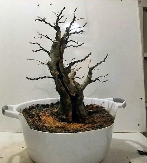 deciduous bonsai design Types of Deciduous Trees Japanese Maple Bonsai