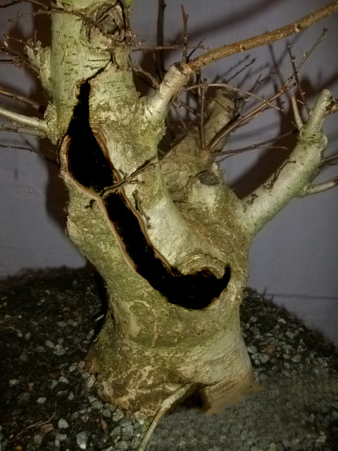 elm bonsai deadwood