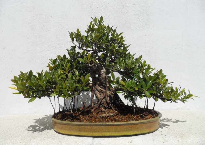 ficus bonsai pot