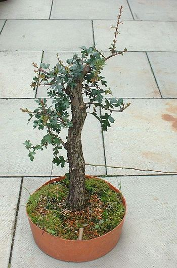 Hawthorn/Crataegus monogyna Bonsai Progression Series