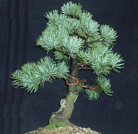 Pinus Parviflora Japanese White Pine Progression Series By T Riley
