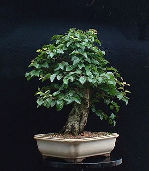 Korean Hornbeam/Carpinus turczaninowii Bonsai Progression Series