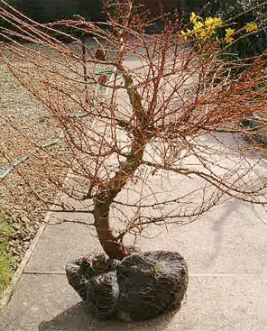 Larix kaempferi/Japanese Larch Bonsai