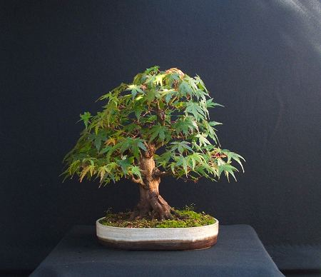 Acer palmatum/Mountain Maple Bonsai