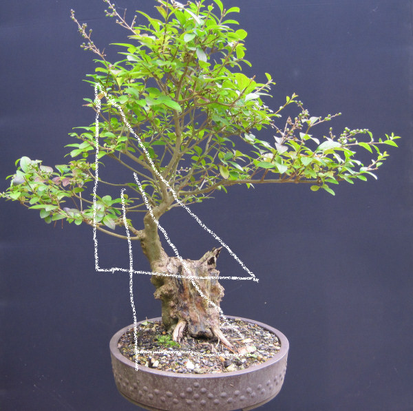 privet bonsai design
