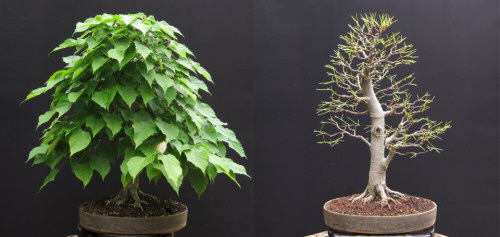 lime tilia bonsai