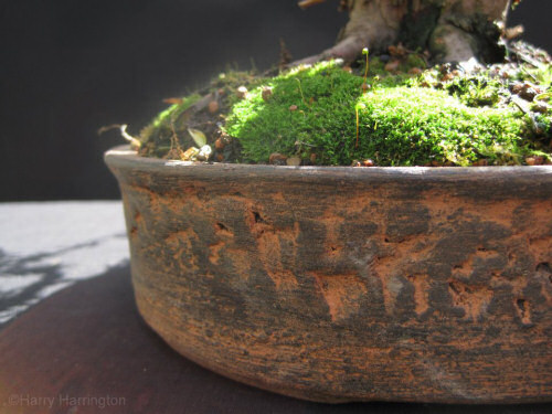 yew bonsai pot