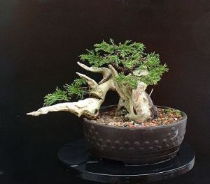 Juniper/Juniperus x pfitzeriana Tanuki Progression Series