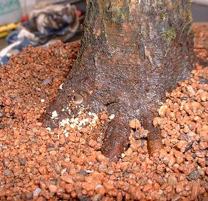 Thread Grafting New Roots onto Bonsai