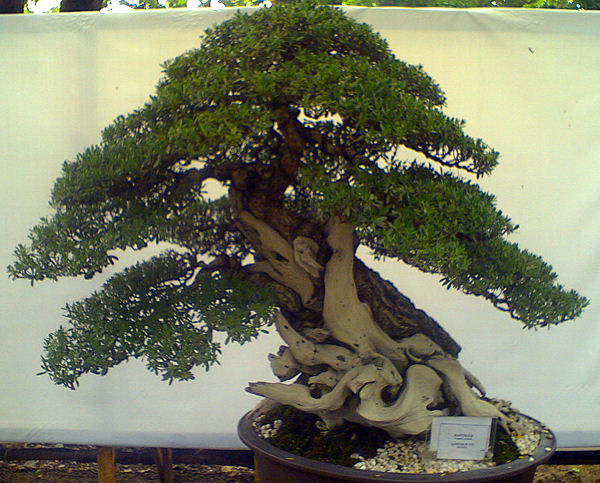 bantigue bonsai