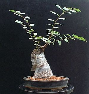 Planted into a bonsai pot