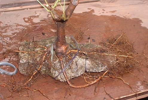Acer campestre/Field Maple Root-Over-Rock Bonsai Photo Series