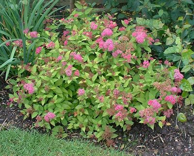 Spiraea%20japonica%20Goldflame%20Bonsai%20Progression%20Series