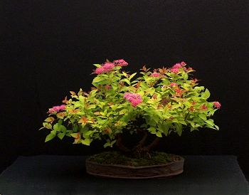 Spiraea japonica 'Goldflame' Bonsai Progression Series