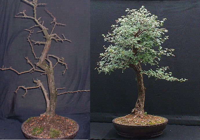uro on hawthorn bonsai