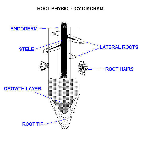 Osmosis in Plant Roots Functions of Roots Plant