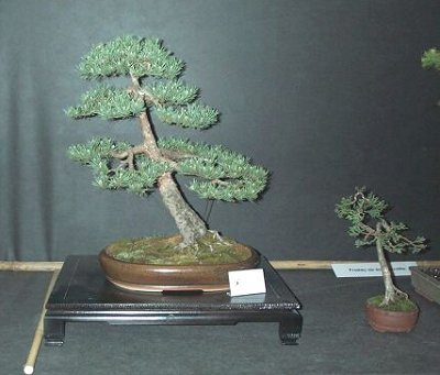 International Bonsai Exhibition, Poland