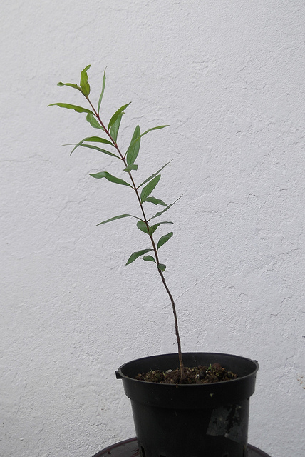 This Is Not Worst Case Scenario >> Growing Bonsai From Seed