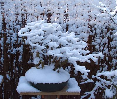 البونساي bonsai snow 004 400.jpg