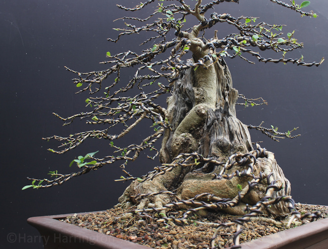 big privet bonsai