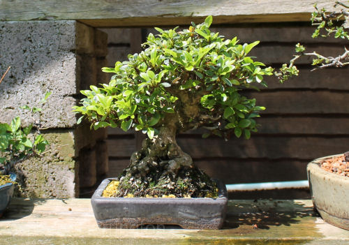 Azalea Bonsai Species Guide