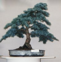 Cedrus atlantica glauca bonsai photographed at Tatton Park '00 - Artist unknown