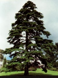 how to grow running cedar
