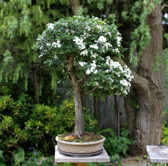 hawthorn bonsai in flower