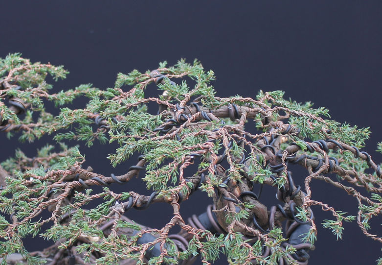 Juniperus Juniper Bonsai Species Guide