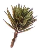 Pinus Pine Bonsai