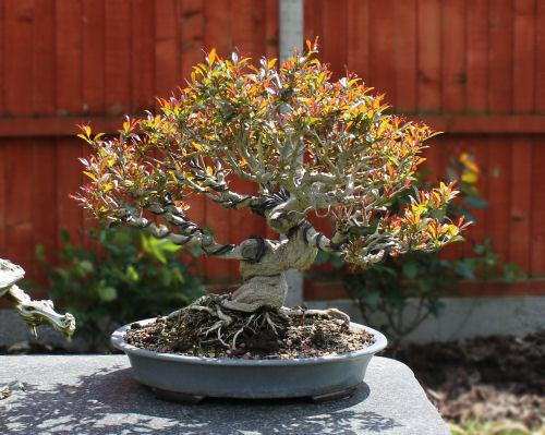 Punica Pomegranate Bonsai Species Guides