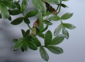 Potentilla leaves