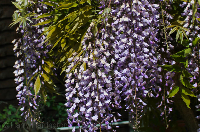 Wisteria Wisteria Bonsai Species Guides