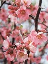 Chaenomeles Flowering Quince Bonsai