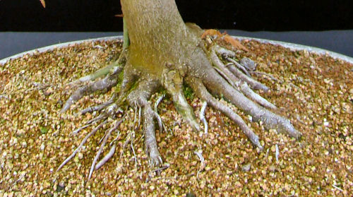 limescale on bonsai
