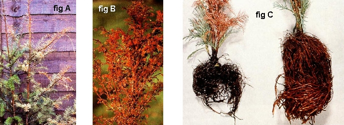 Phytophthora and Root Rot in Bonsai trees
